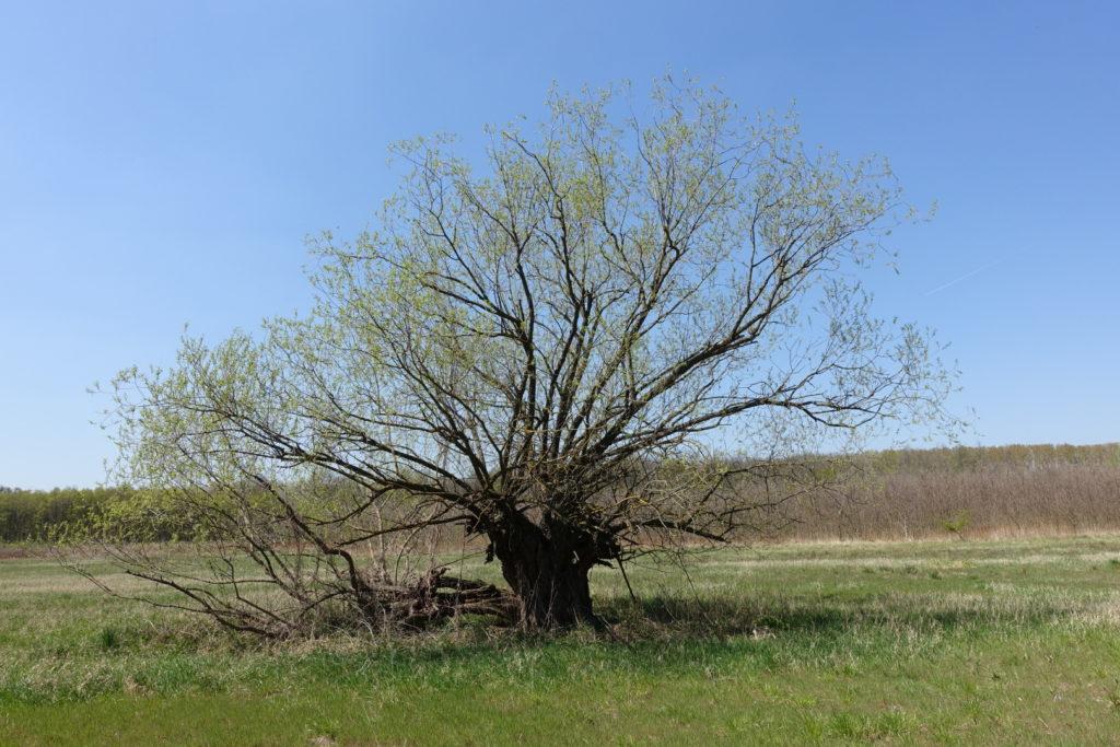 V intenzivně obdělávané krajině se ořezávané vrby občas vyskytnou ojediněle uprostřed polí a luk. Většinou jde o pozůstatky dříve početnějších roztroušených porostů.