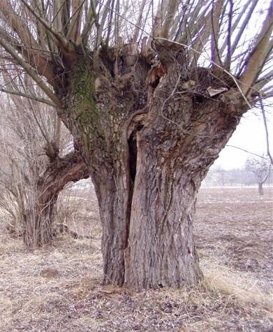 Díky pravidelnému ořezávání mohou vrby dosáhnout obrovských rozměrů, aniž by se rozlomily.