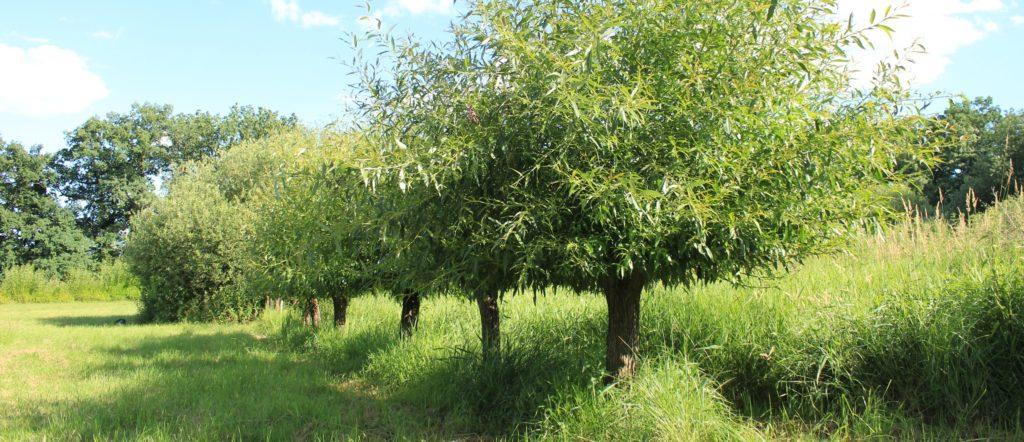 Hlavaté stromy vychovávat ořezem už od útlého věku.