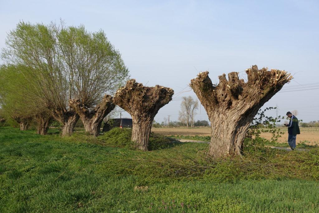 Ořezávání hlavatých vrb u obce Vojkovice