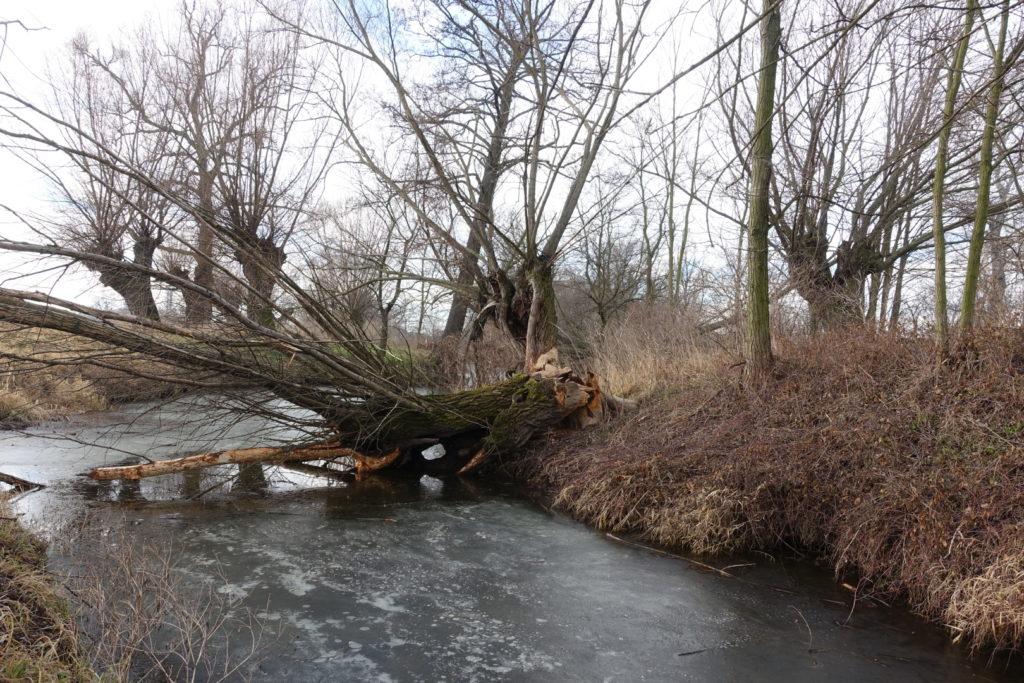 Váha větví může u neořezávaných vrb způsobit rozlomení kmene.