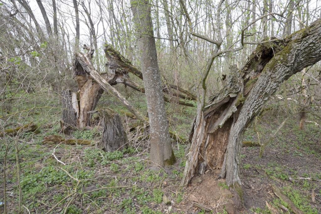Pokud se hlavaté stromy neořezávají, váha sílících větví často vede k rozlomení kmene.