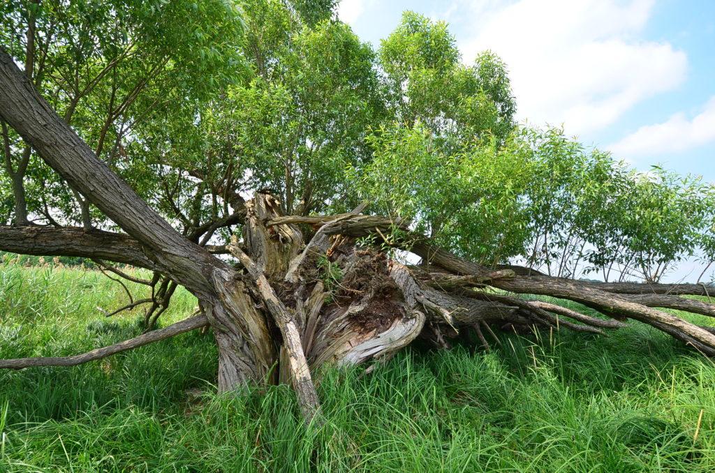 I po rozlomení stromu můžou některé větve znovu obrazit. Nicméně pro dutinové specialisty je strom již nevhodný.