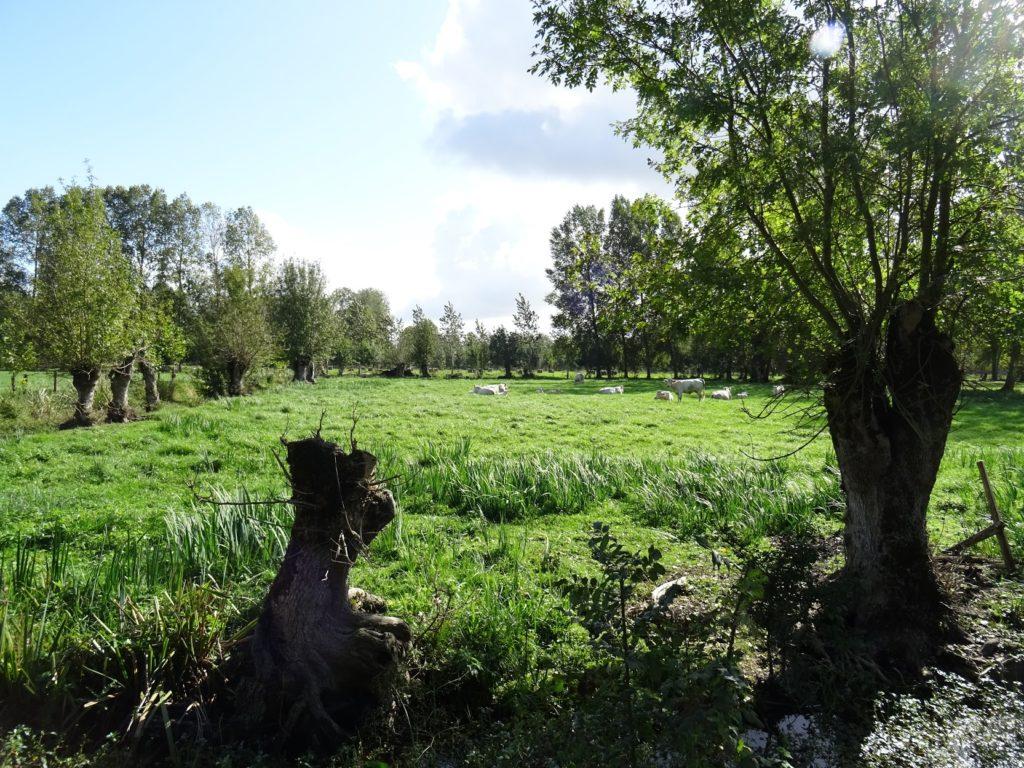 Typická pastvina obklopená ořezávanými jasany v PNR Marais poitevin