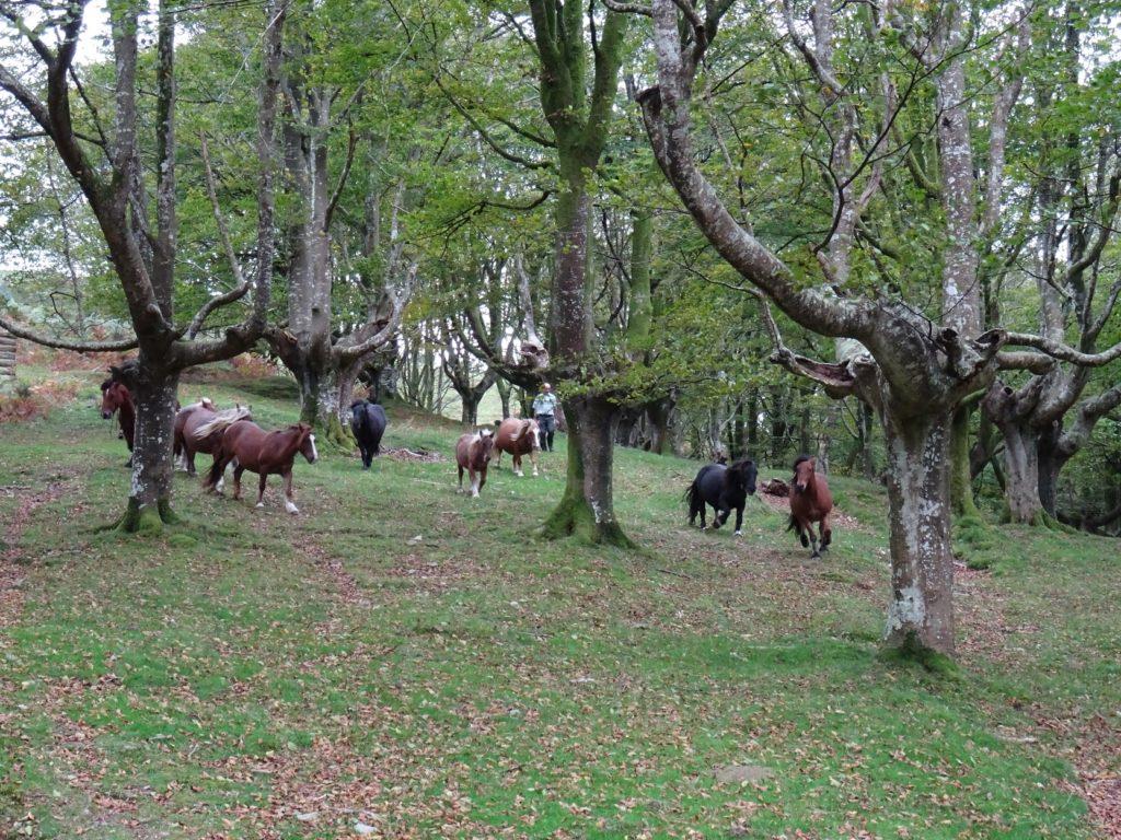 Ořezávané buky v Aiko Harria, Španělsko.