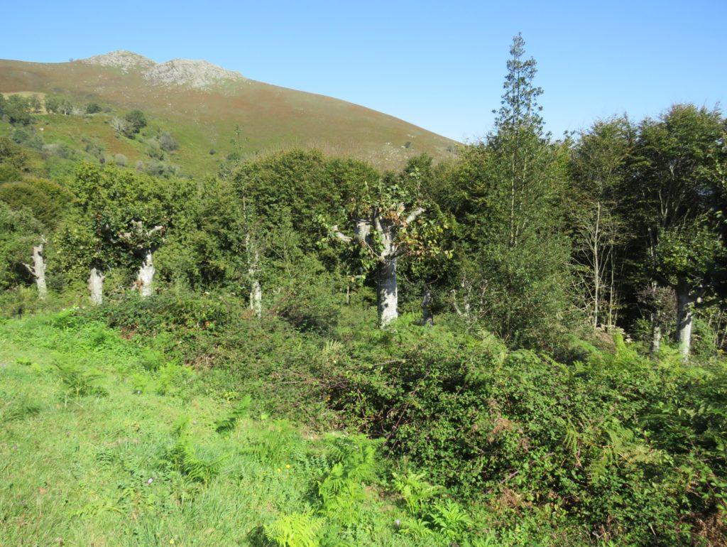 Nedávno ořezané buky na Col de Lizzarieta, Francie.