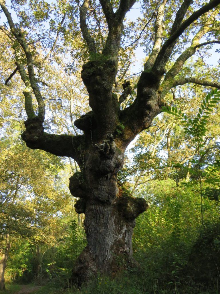 Dříve ořezávané duby. Nejednoho dnes udivují jejich magické tvary. Niva řeky Nivelle, Francie