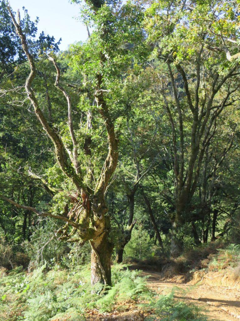 Dříve ořezávané duby, Sare, Francie.