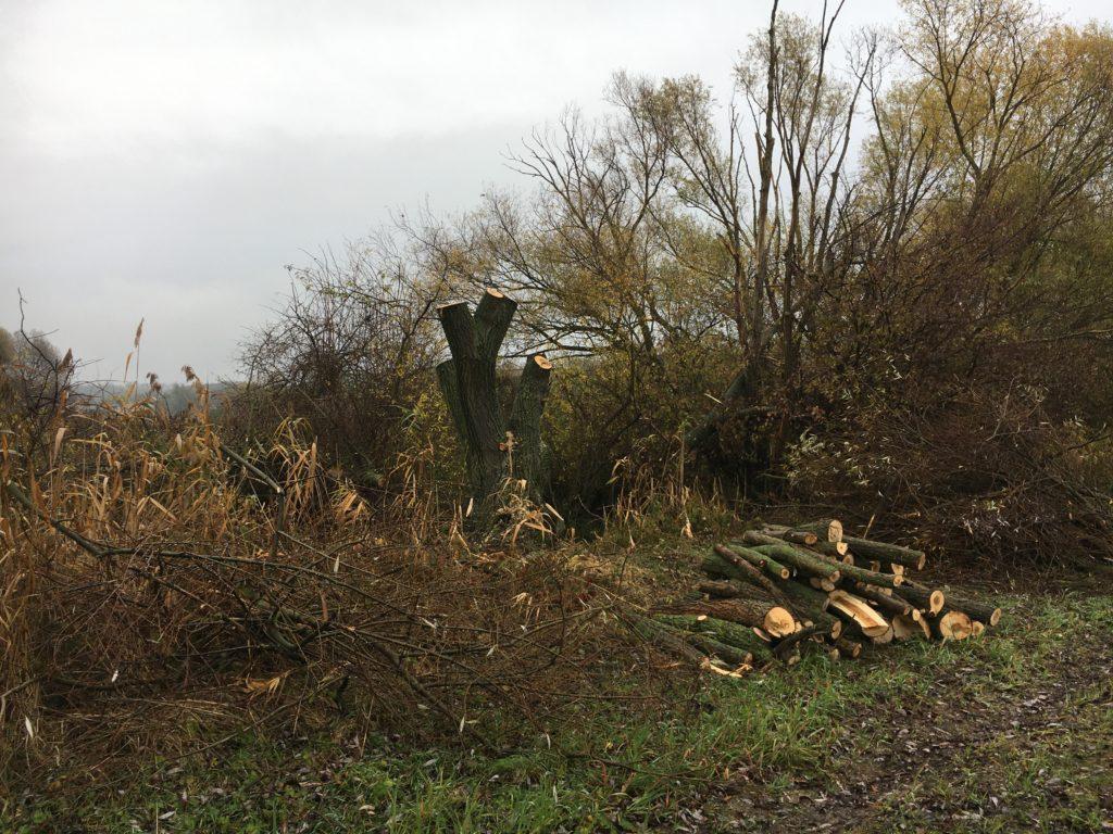 Ořezané vrby u obce Rohov, Trnavský kraj.